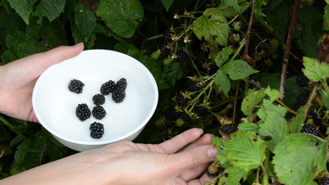 woman hand gather ripe dewberry black berry rubus bush dish Footage