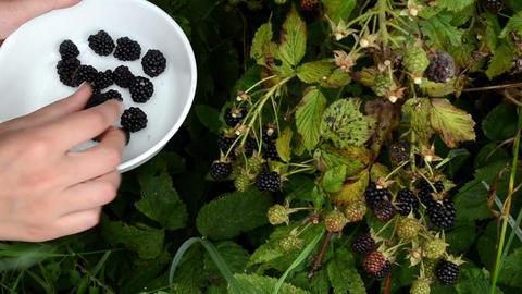 female hand pick gather ripe blackberry rubus plant bush dish Footage