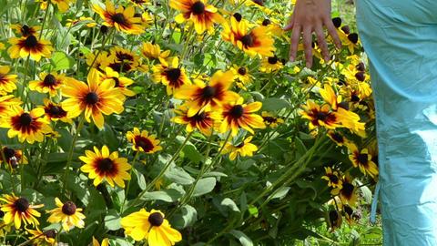 Hand Touch Rudbeckia Flower Bloom Garden stock footage
