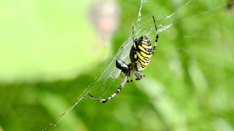 wasp spider argiope bruennichi spiderweb web move in wind Live Action