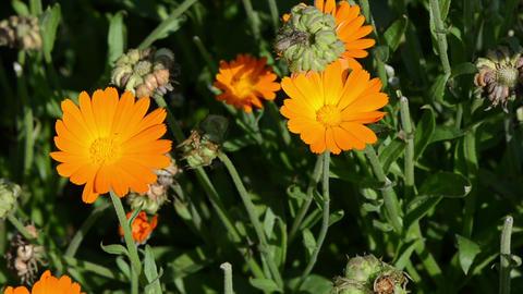 orange marigold calendula herb bloom. alternative medicine Footage