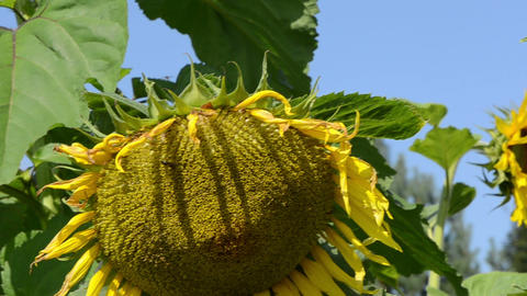 yellow sunflower head leaves move wind blue sky Footage