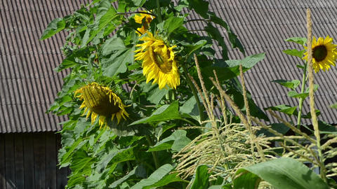 sunflower grow move in wind rural garden old building house roof Footage