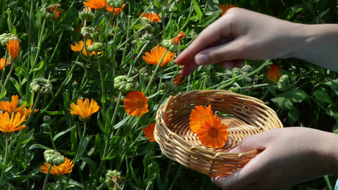 hand pick marigold calendula herb bloom wooden wicker Footage
