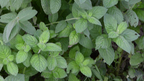 mint plant alternative medicine herbs wicker dish leaves Footage