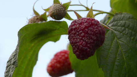 closeup red ripe raspberry berry leaves move wind. natural food Footage