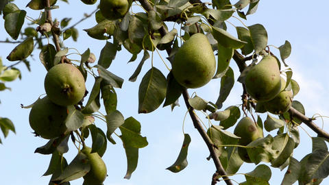 closeup pear tree branch fruits background sky Footage