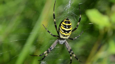defocus wasp spider argiope bruennichi spiderweb Footage