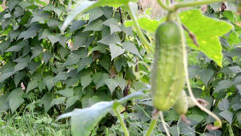 organic green cucumber beans grow agricultural rural garden Footage