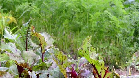 natural beetroot carrot leaves grow natural rural garden Live Action
