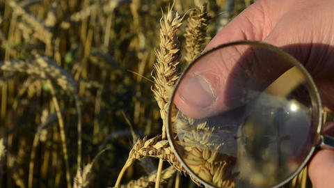farmer hand magnify glass closeup examine wheat ear class Footage