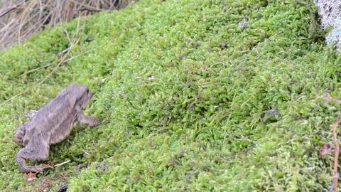 toad natterjack amphibia animal crawl swarm moss Footage