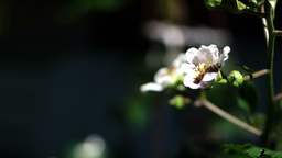 Blackberry Rubus Caesius Branch With White Blossoms And Bee Fly Footage