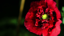Opium Poppy (Papaver Somniferum) Blooming In The Garden Footage