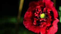 Opium Poppy (Papaver Somniferum) Blooming In The Garden Footage