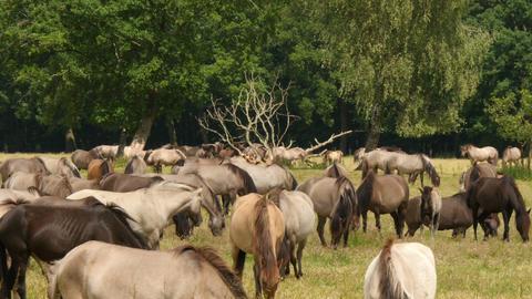 many wild horses grazing 4k UHD 11650 Footage