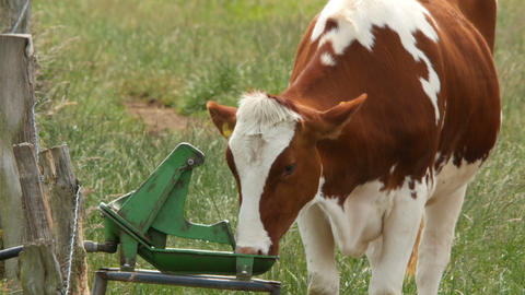 cow drinking at trough 11653 Footage