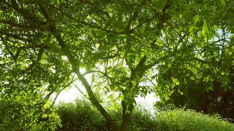 Timelapse of a sunset behind a tree - evening sun filtering through green leaves Footage