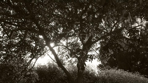 Timelapse of a sunset behind a tree in black and white - evening sun filtered Footage
