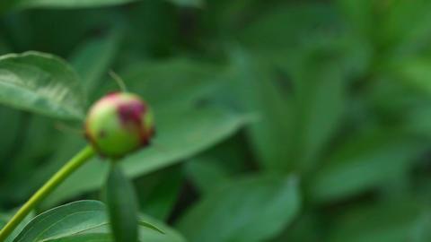 Ants on the peony bud Footage