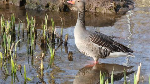 Greylag Goose Footage