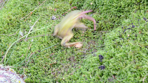 green frog on swamp moss catch prey earthworm worm Footage