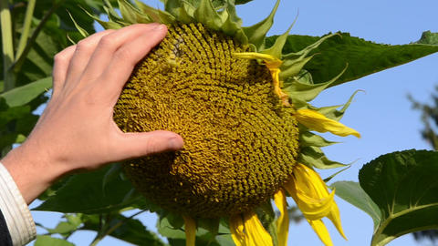 hand touch ripe sunflower blooms fall down background blue sky Footage