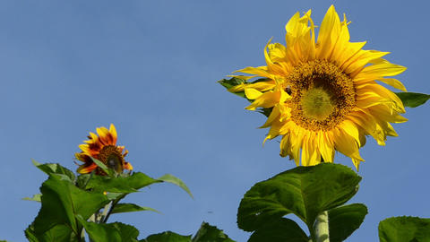 sunflower bloom and bumblebee bee collect pollen Footage
