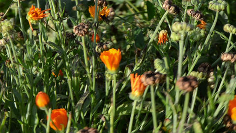 walk orange marigold calendula herb bloom. alternative medicine Footage