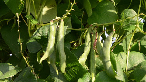 closeup green bean pod string leaves move wind garden Footage