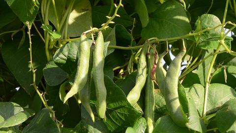 closeup green bean pod string leaves move wind garden Footage
