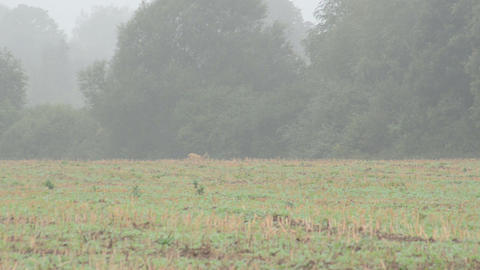 follow wild roe hind run agriculture field fog Footage
