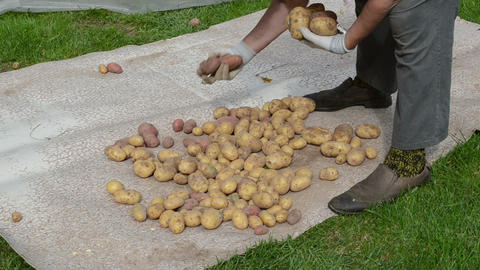 senior woman hands gather harvest natural potatoes cook Footage