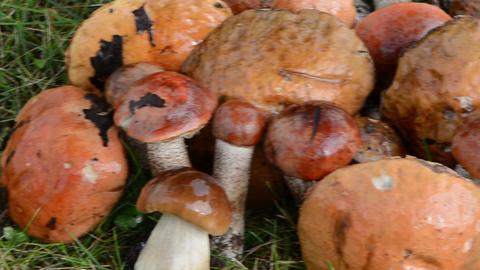 pile stack wet orange-cap red cap mushrooms grass Footage