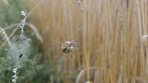 wasp spider catch prey fly envelop wrap web. argiope bruennichi Footage