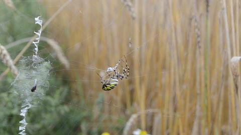wasp spider catch prey fly envelop wrap web. argiope… Stock Video Footage