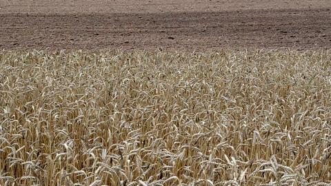 closeup ripe wheat ear move wind plow field soil autumn season Footage