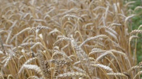 defocus walk imitation ripe wheat agriculture plant ears field Footage