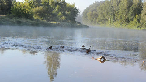 duck swim misty fogy flowing river water bay morning sunlight Footage