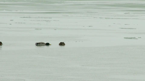 4K Ducks on a Frozen Lake in a Freezing Winter Day 1 Animation