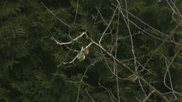 4K Eurasian Tree Sparrow Passer Montanus Eating from... Stock Video Footage