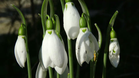 4K Snowdrop Galanthus in a Winter Day 1 closeup Footage