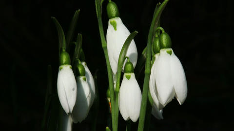 4K Snowdrop Galanthus in a Winter Day 3 closeup Footage