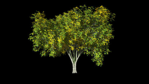 Tree On The Wind Isolated 3 Animation