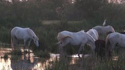 Camargue Horse (Equus Caballus) stock footage
