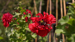 Poppy With Bumble-Bee In The Garden Footage