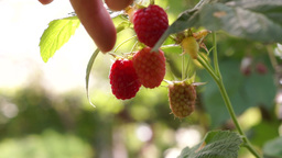 Picking Raspberries On An Organic Farm Footage