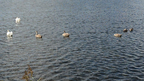 swan bird family swim beautiful ripple lake water Footage