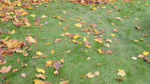 colorful autumn maple tree leaf fall green lawn grass Footage