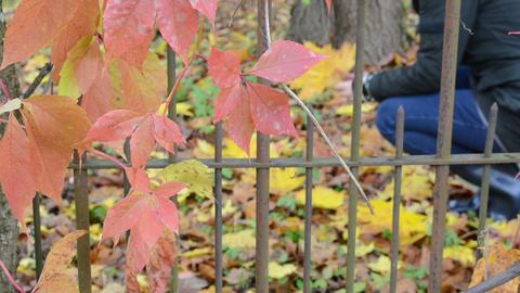 blur woman gather autumn maple leaves retro rusty garden fence ライブ動画